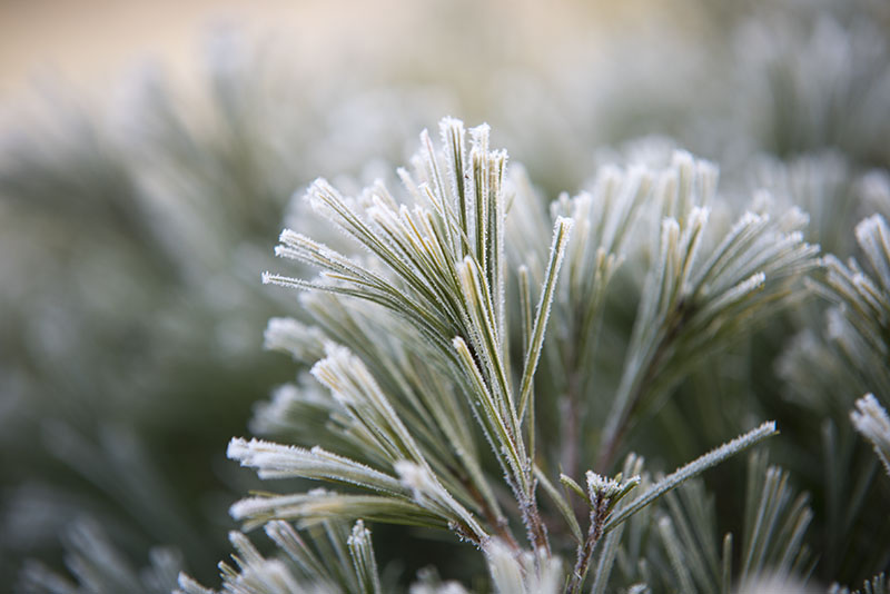 Frost morgen fyrregrene - www.vangelyst.dk