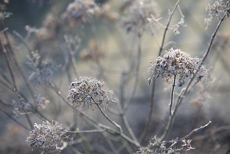 Frost morgen limelight - www.vangelyst.dk