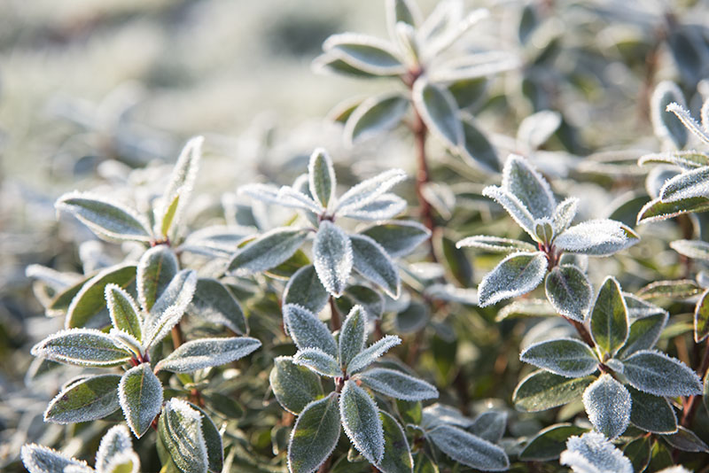 Frost morgen rhododendron - www.vangelyst.dk