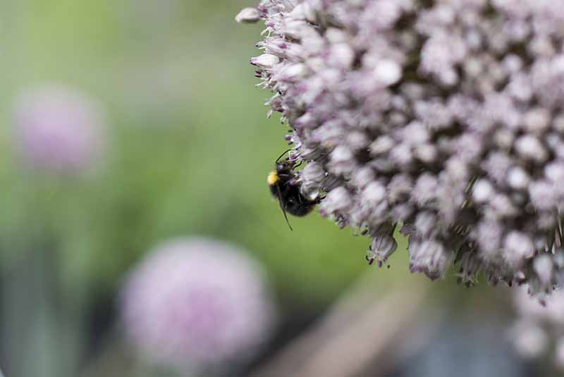 Porrer i blomst - www.vangelyst.dk