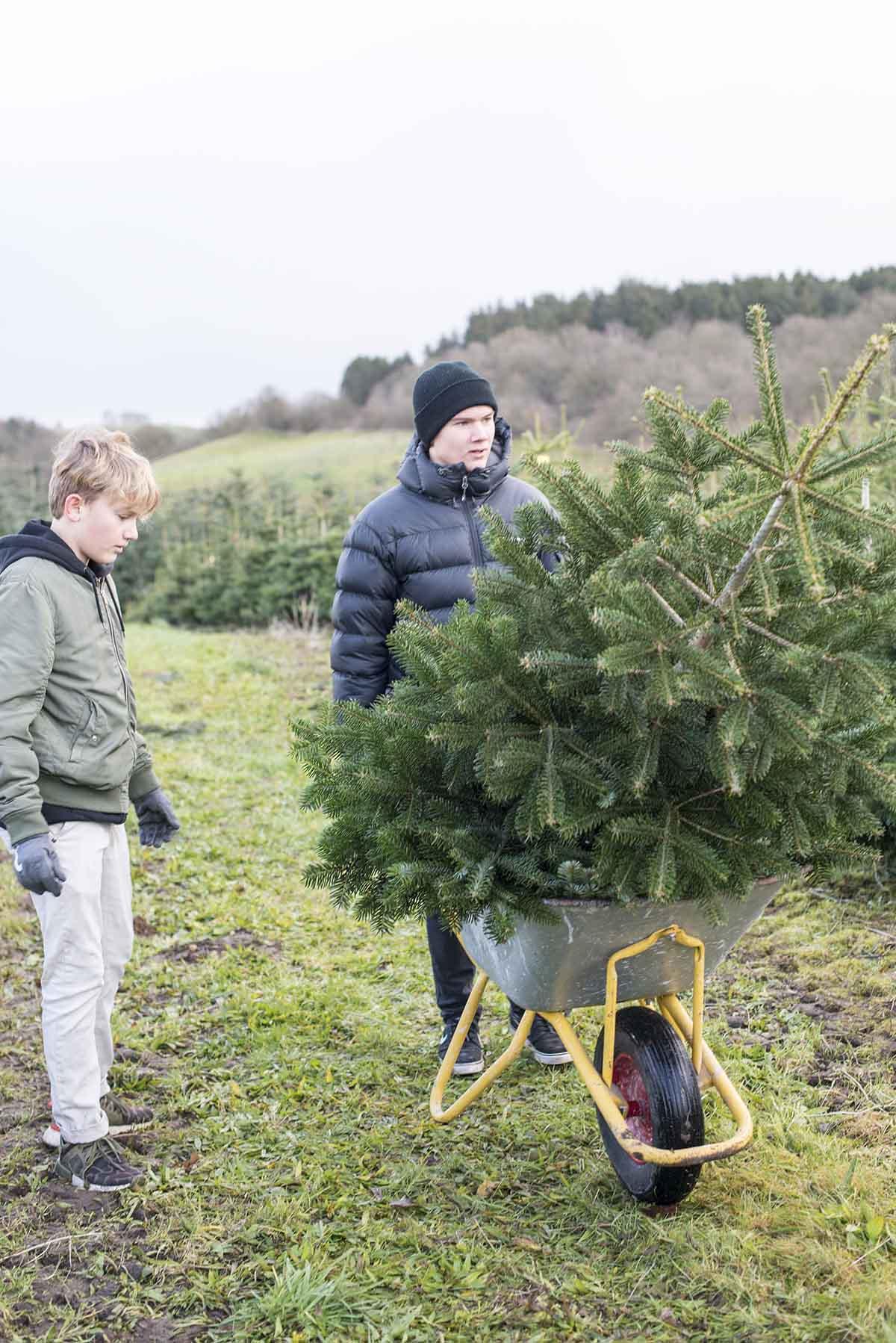 Fæld selv juletræ Rolles Mølle - www.vangelyst.dk